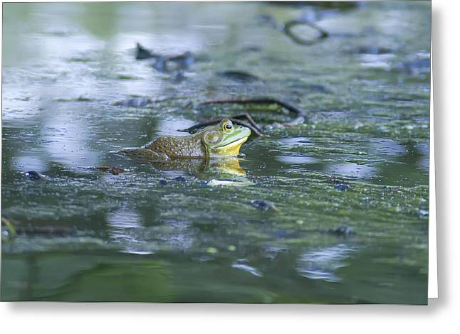 Bull Creek Greeting Cards - Bull Frog Pond Greeting Card by Bill Cannon