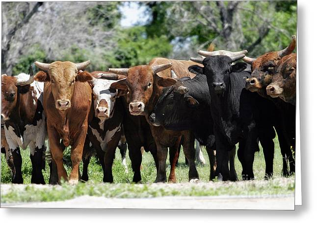 Angus Steer Greeting Cards - Bull Market Greeting Card by Lincoln Rogers