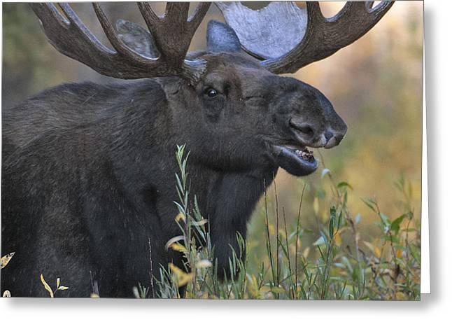 Bull Moose Calling Greeting Card by Gary Langley