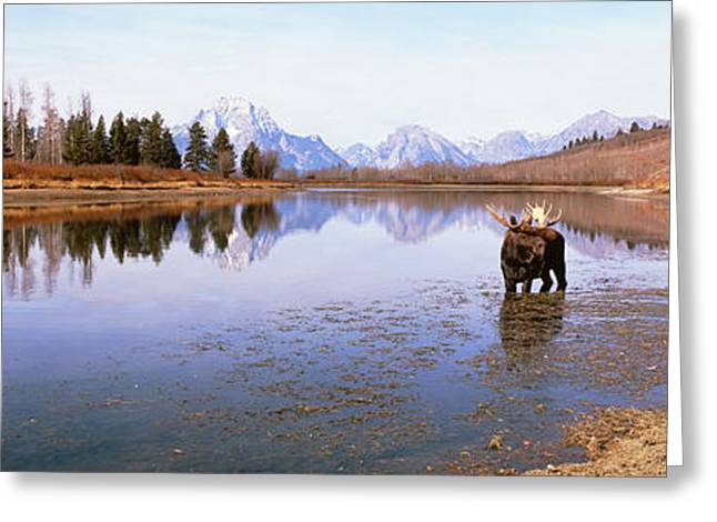Bull Moose Greeting Cards - Bull Moose Grand Teton National Park Wy Greeting Card by Panoramic Images