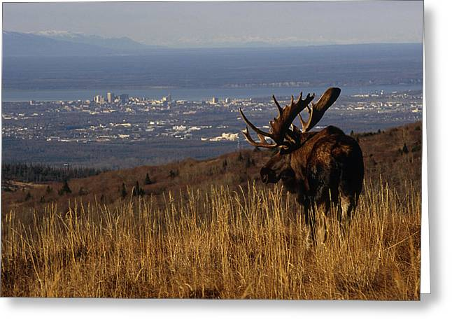 Grazing Snow Photographs Greeting Cards - Bull Moose Grazing & Resting On Greeting Card by Eberhard Brunner