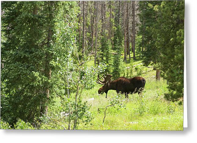 Bull Moose Grazing In Mountain Forest Greeting Card by Jim West