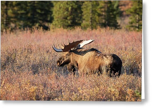 Bull Moose In Autumn Foliage, Denali Greeting Card by Doug Lindstrand