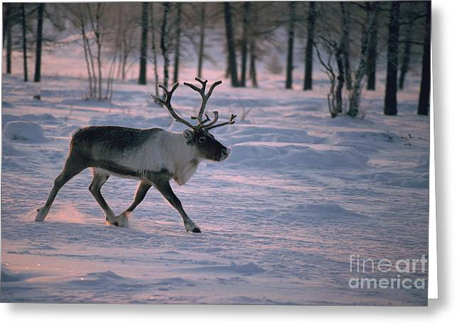Bull Reindeer in  Siberia Greeting Card by Bryan and Cherry Alexander
