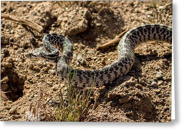 Coldblooded Greeting Cards - Bull Snake Greeting Card by Robert Bales