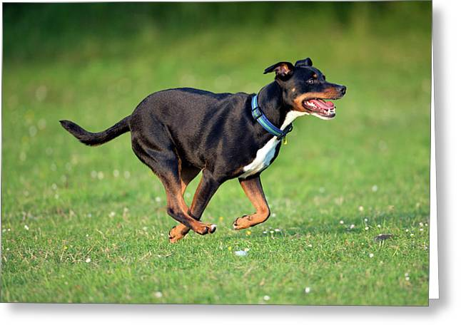 Bull Terrier Crossbreed Dog Greeting Card by Simon Booth