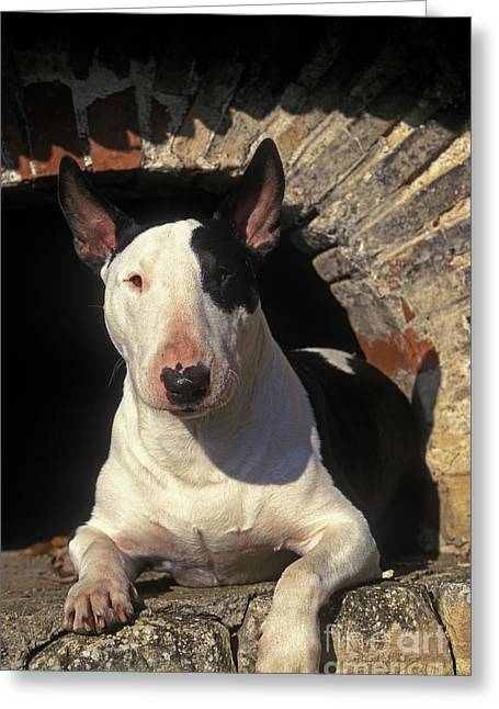 Guard Dog Greeting Cards - Bull Terrier Dog Greeting Card by Jean-Michel Labat