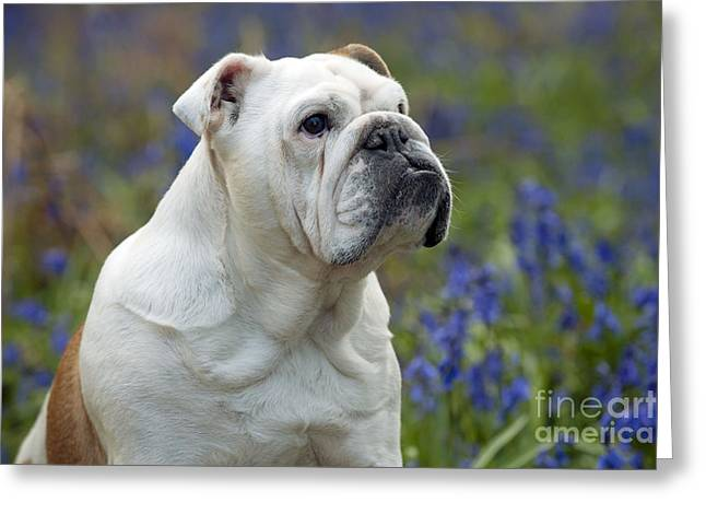 Domesticated Flower Greeting Cards - Bulldog In Bluebells Greeting Card by John Daniels
