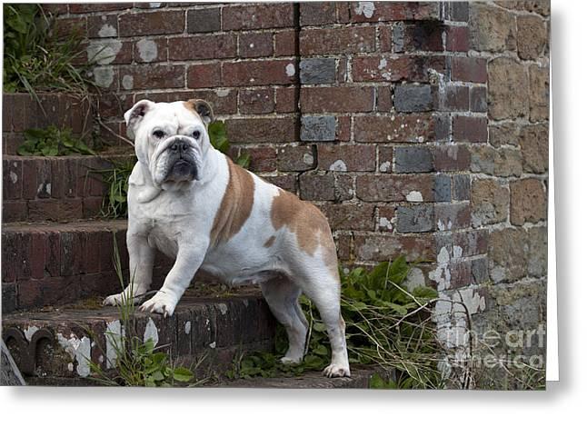 Guard Dog Greeting Cards - Bulldog On Steps Greeting Card by John Daniels