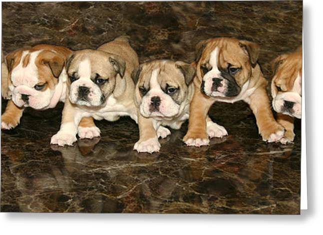 Breeds Greeting Cards - Bulldog Puppies Greeting Card by Phil  Gough