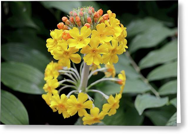 Bulley's Primrose (primula Bulleyana) Greeting Card by Jane Sugarman