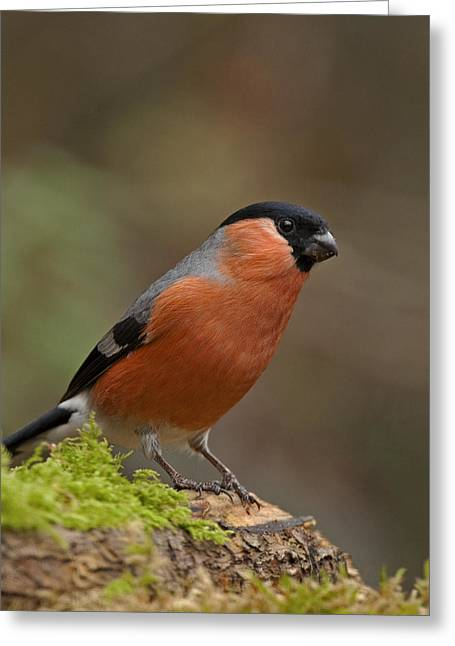 Scoullar Greeting Cards - Bullfinch Greeting Card by Paul Scoullar