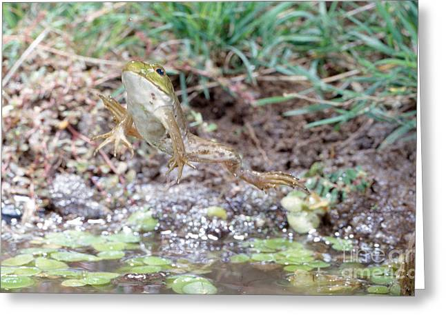 Anuran Greeting Cards - Bullfrog Leaping Greeting Card by Anthony Mercieca