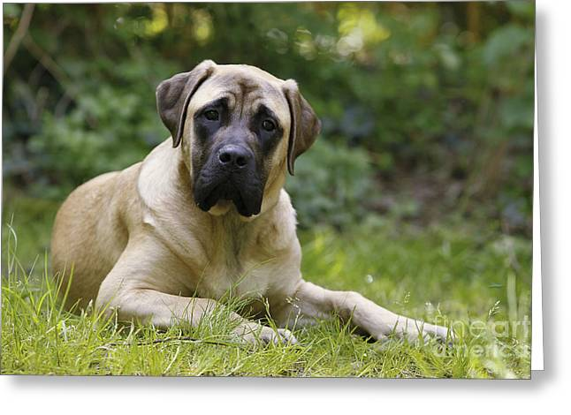 Breeds Greeting Cards - Bullmastiff Dog Greeting Card by Jean-Michel Labat