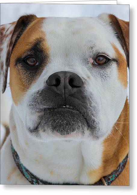 Boxer Pyrography Greeting Cards - Bully Face by Bridget Havercroft Greeting Card by Bridget Havercroft