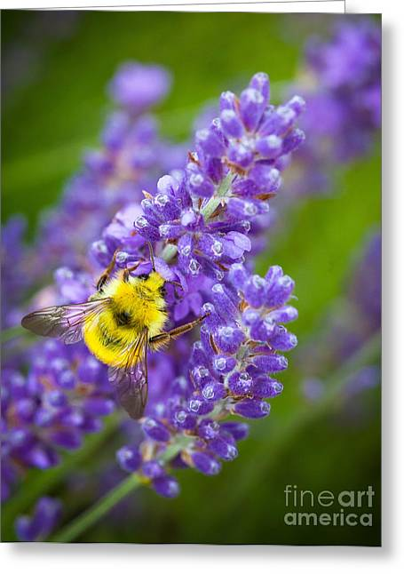 Lavandula Greeting Cards - Bumble Bee and Lavender Greeting Card by Inge Johnsson