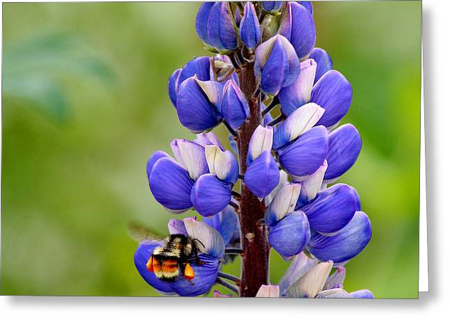 Bumble Bee And Lupine Greeting Card by Art Block Collections