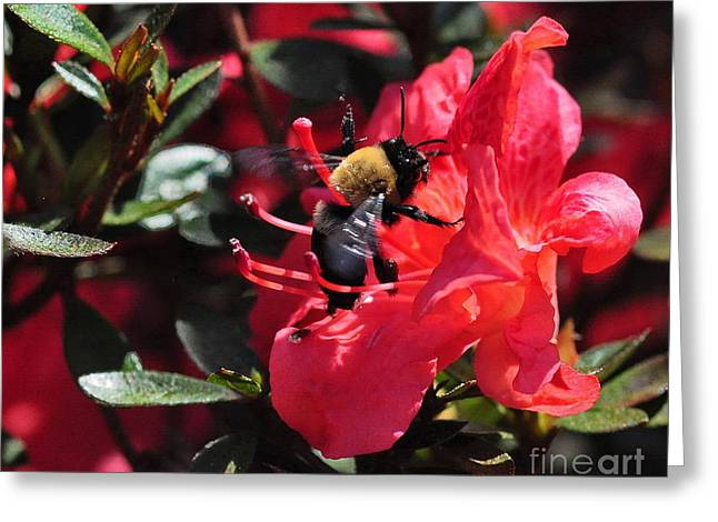 Bee Greeting Cards - Bumble Bee Buzzes Azalea Red Greeting Card by Wayne Nielsen