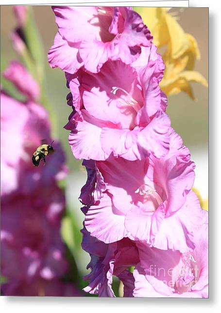 Gladiolas Greeting Cards - Bumble Bee in the Gladiolus Greeting Card by Carol Groenen