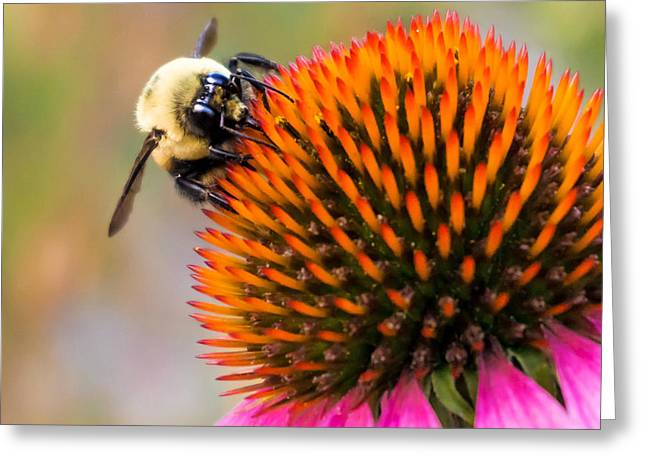Nectar Greeting Cards - Bumble Bee on Coneflower Greeting Card by Jim Hughes