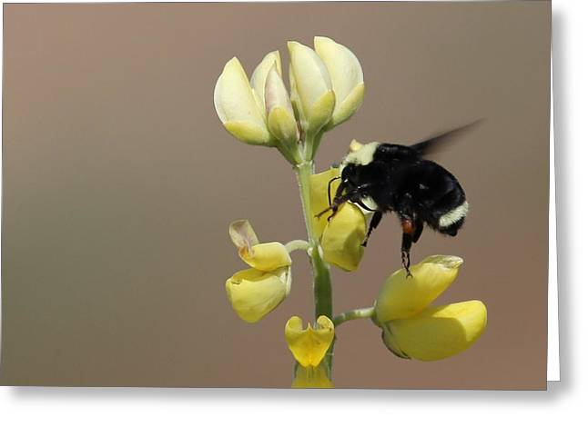 Black Widow Greeting Cards - Bumble Greeting Card by Ru Tover