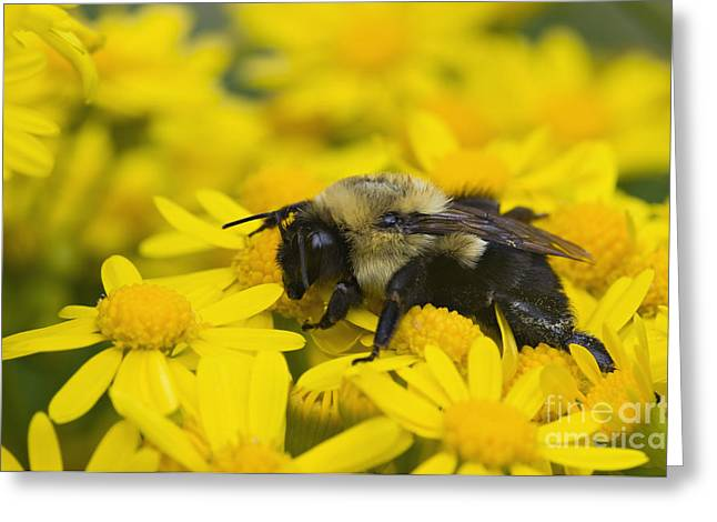 Asters Greeting Cards - Bumblebee - D008456 Greeting Card by Daniel Dempster