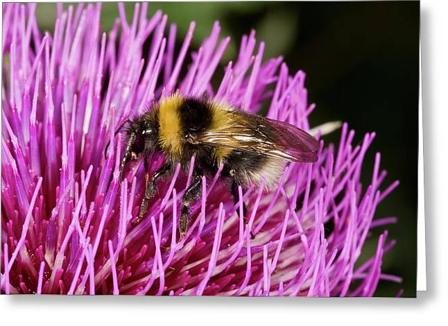 Bumblebee Feeding On Thistle Flower Greeting Card by Bob Gibbons