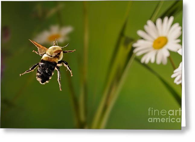 Bee In Flight Greeting Cards - Bumblebee In Flight Greeting Card by Scott Linstead