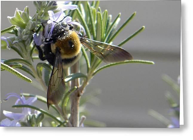 Kelly Photographs Greeting Cards - Bumblebee Greeting Card by Kelly Howe