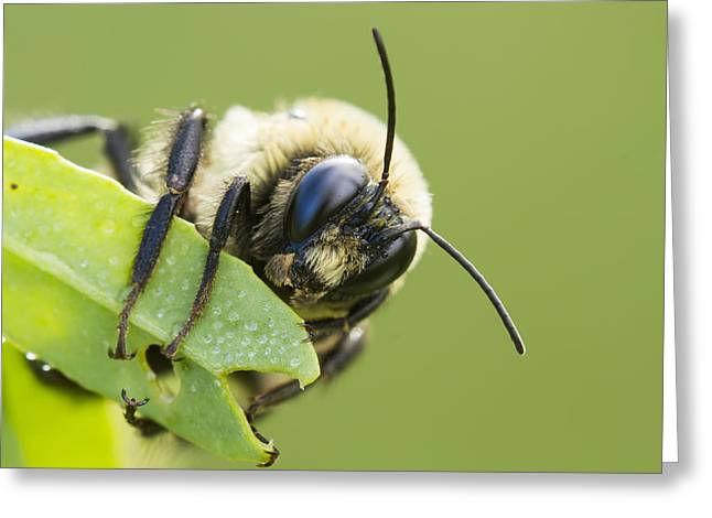 Netting Greeting Cards - Bumblebee Greeting Card by Mircea Costina Photography