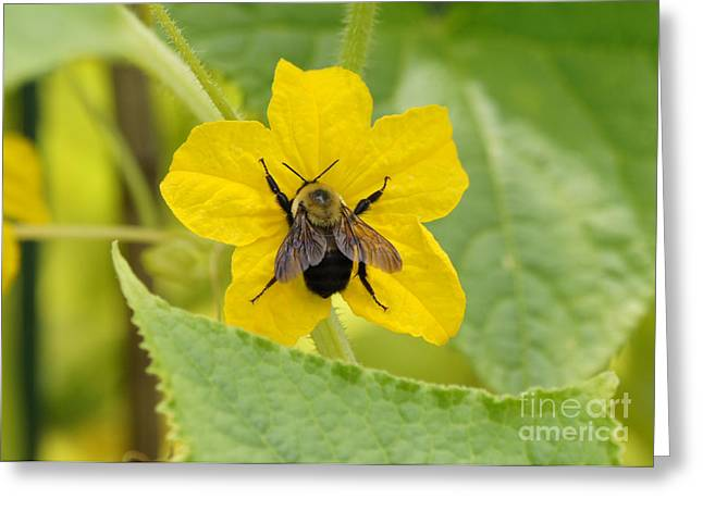 Reflections Of Infinity Greeting Cards - Bumblebee on Cucumber Flower Greeting Card by Robert E Alter Reflections of Infinity