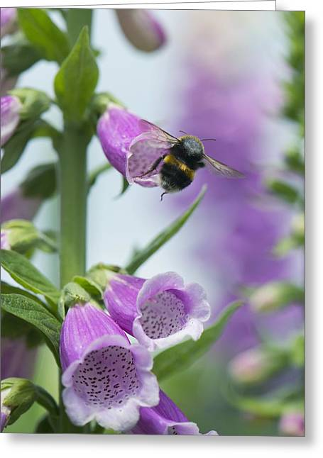 Foxglove Flowers Greeting Cards - Bumblebee on foxglove Greeting Card by Science Photo Library