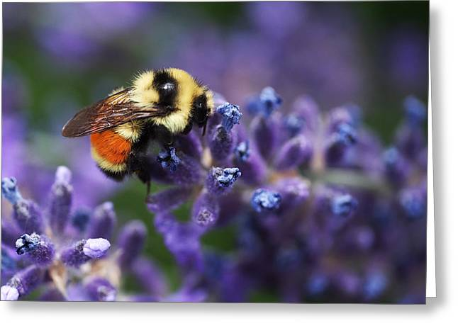Bumblebee Greeting Cards - Bumblebee on Lavender Greeting Card by Rona Black