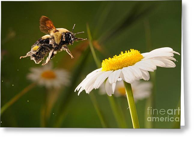 Bee In Flight Greeting Cards - Bumblebee Pollinates Daisies Greeting Card by Scott Linstead