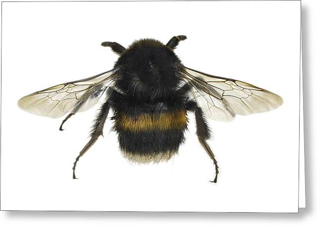 Legs Spread Greeting Cards - Bumblebee Greeting Card by Science Photo Library