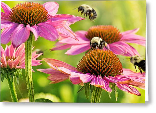 Gathering Greeting Cards - Bumbling Bees Greeting Card by Bill Pevlor
