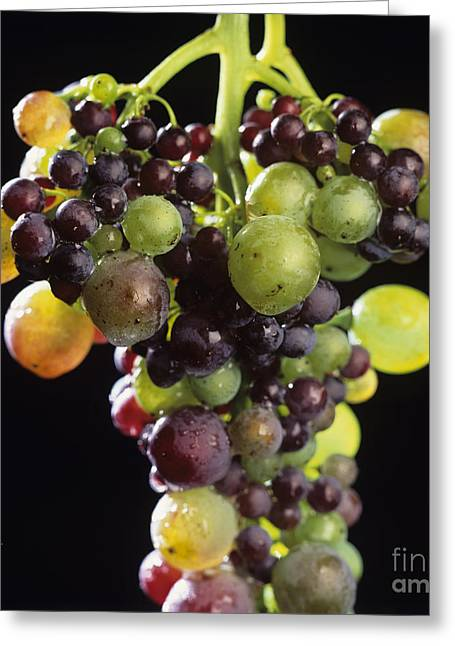 Winemaking Photographs Greeting Cards - Bunch of grapes Greeting Card by Bernard Jaubert