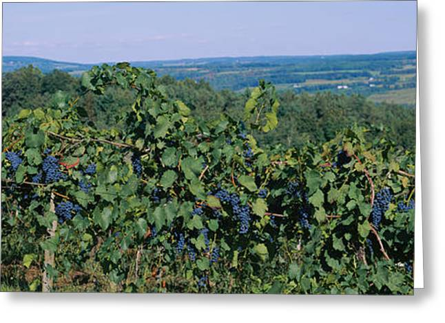 Grape Vineyard Greeting Cards - Bunch Of Grapes In A Vineyard, Finger Greeting Card by Panoramic Images
