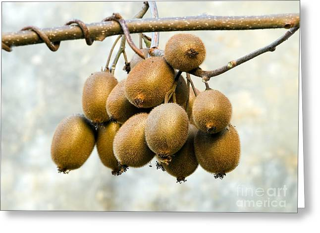 Nutriment Greeting Cards - Bunch of Kiwi Greeting Card by Sinisa Botas