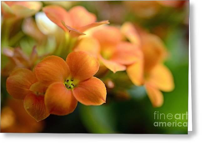 Sami Sarkis Greeting Cards - Bunch of small orange flowers Greeting Card by Sami Sarkis