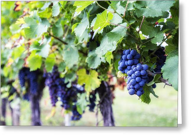 Grape Vines Greeting Cards - Bunches of Black Grapes Greeting Card by Nomad Art And  Design