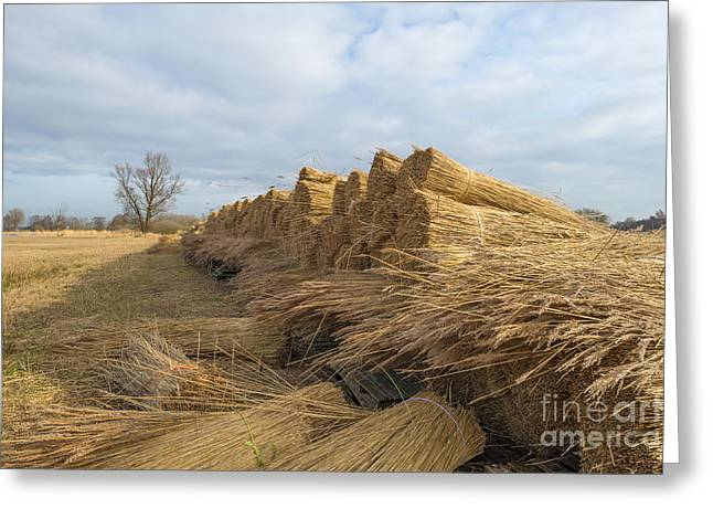 Reed Bed Greeting Cards - Bundled common reed on a field in winter Greeting Card by Jan Marijs