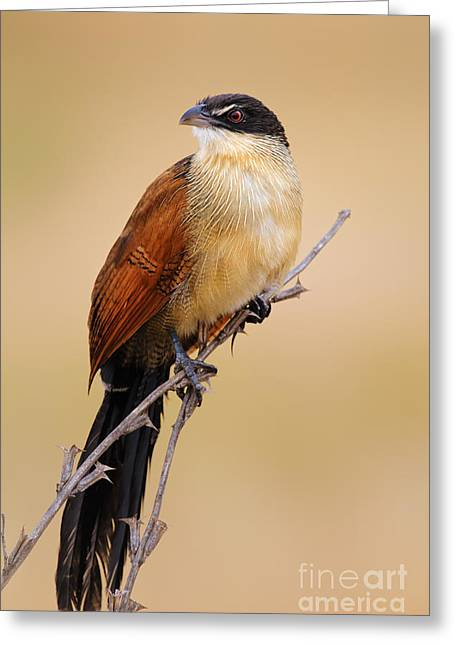 Sat Photographs Greeting Cards - Burchells coucal Greeting Card by Johan Swanepoel