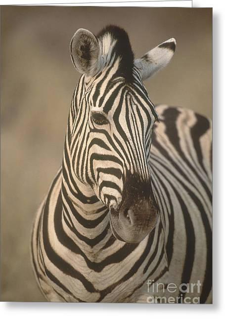 Zebra Face Greeting Cards - Burchells Zebra Greeting Card by Art Wolfe
