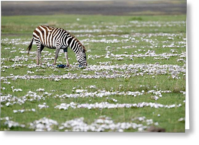 In Common Greeting Cards - Burchells Zebra Equus Burchelli Grazing Greeting Card by Panoramic Images