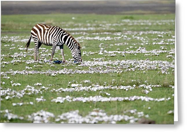 Zebra Grazing Greeting Cards - Burchells Zebra Equus Burchelli Grazing Greeting Card by Panoramic Images