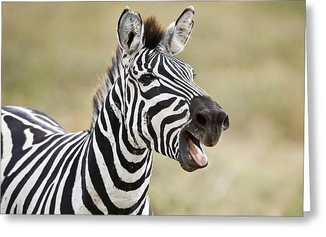 Equus Greeting Cards - Burchells Zebra Equus Quagga Burchellii Greeting Card by Panoramic Images