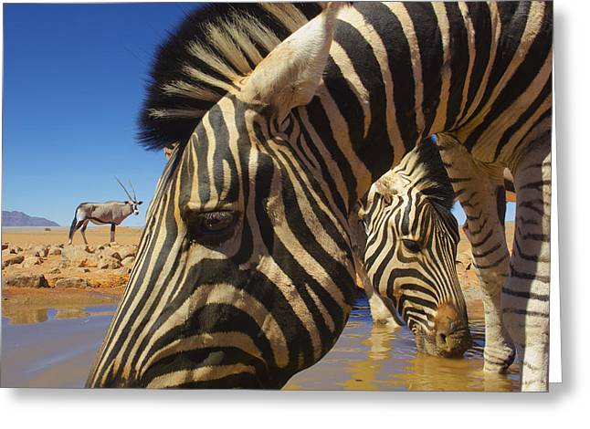 Burchells Zebras At Waterhole With Oryx Greeting Card by Theo Allofs