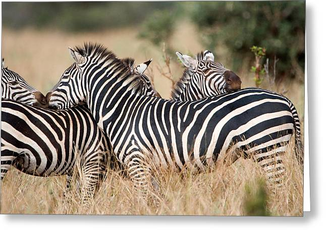 In Common Greeting Cards - Burchells Zebras Equus Burchelli Greeting Card by Panoramic Images