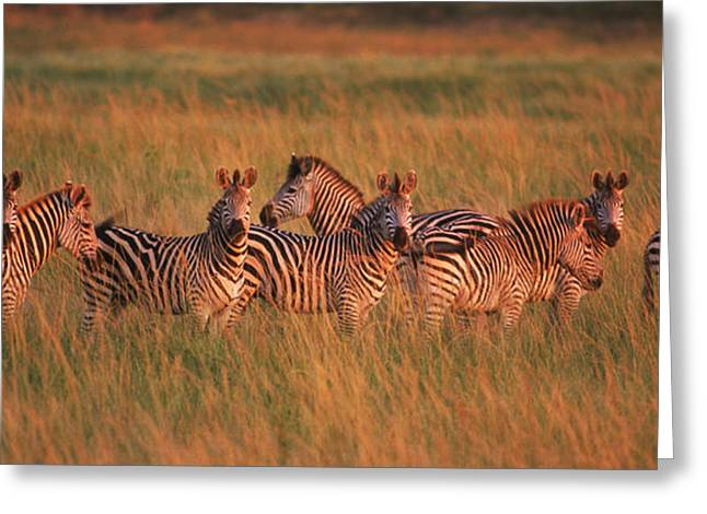 Medium Group Of Animals Greeting Cards - Burchells Zebras Equus Quagga Greeting Card by Panoramic Images